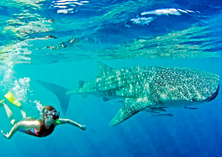 swimming with whale shark 155