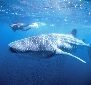 whaleshark small crop 56