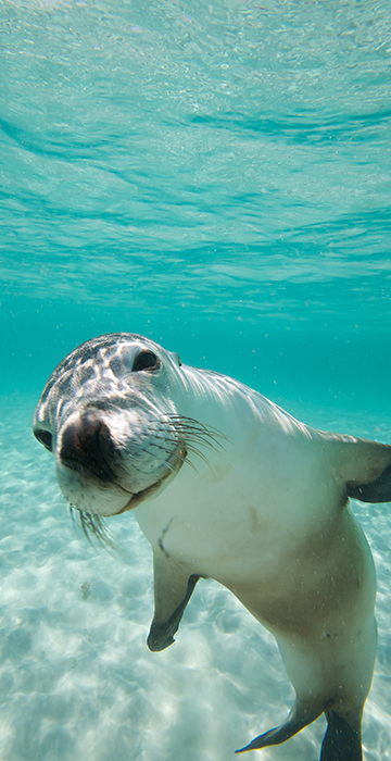 NEW WEB MOBILE 0001 Coral Expeditions Swimming with Sea lions Abrolhos Is