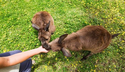 NEW WEBSITE Gallery 720 x 420 0004 Kangaroo Feeding Kangaroo Island