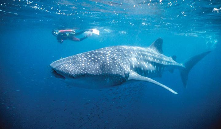 NEW WEBSITE Gallery 0003 Whaleshark with divers at Ningaloo Marine Park