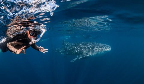 NEW WEBSITE Gallery 0010 Whaleshark Swimmer Credit Jess Hadden BROX 18 19